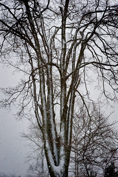 Snow Covered Tree © Tony Passera 2010